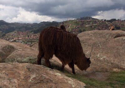 Animal salvaje en las colinas de Cuzco